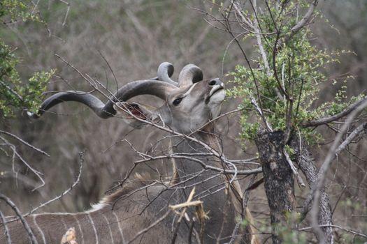 Photo free antelope, horns, wood