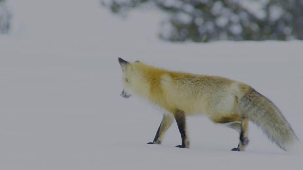 Фото бесплатно волк, хищник, ходить