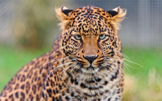 Фото бесплатно леопард, величественная, большие кошки