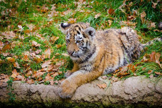 Фото бесплатно тигренок, лежа, трава