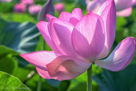 Lotus flower in the sun - free photo