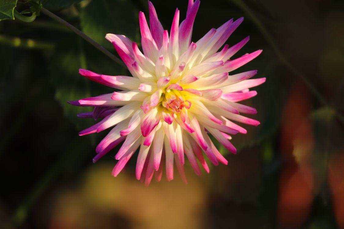 Фото цветы розовый цвет георгины - бесплатные картинки на Fonwall