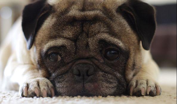 Photo free puppy, dog, cute