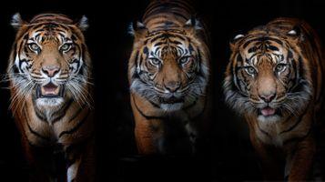 Заставки хищник, тигр, поза