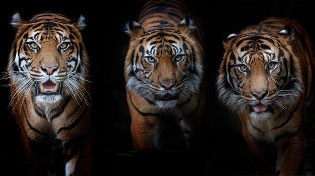 Фото бесплатно хищник, тигр, поза