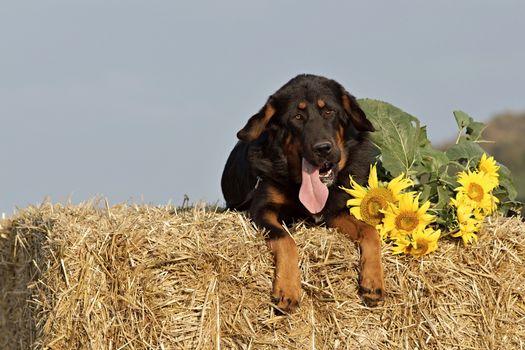 Фото бесплатно тибетский мастифф, собаки, лежа