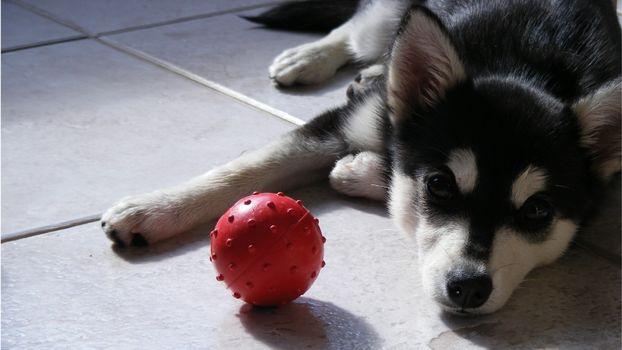 Хаски Щенок с мячом · бесплатное фото