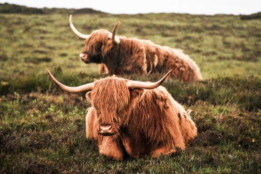 Фото бесплатно корова, як, дождь