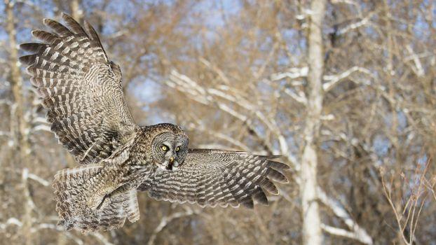 Фото бесплатно сова, летать, птицы