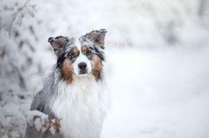 Фото бесплатно австралийский пастух, собака, домашнее животное