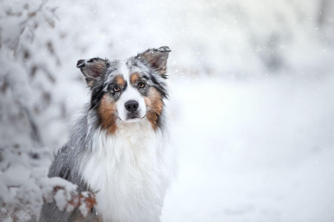 Free photo australian shepherd, dog, pet - to desktop