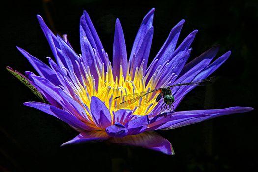 Фото бесплатно макро, кувшинка, цветы