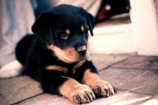 Фото бесплатно щенок, ротвейлер, пес
