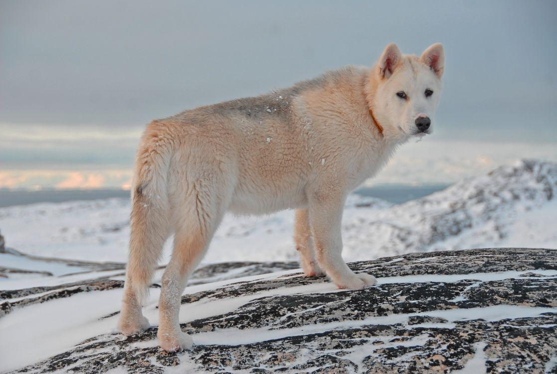 Фото бесплатно снег, белый, гренландская собака - на рабочий стол