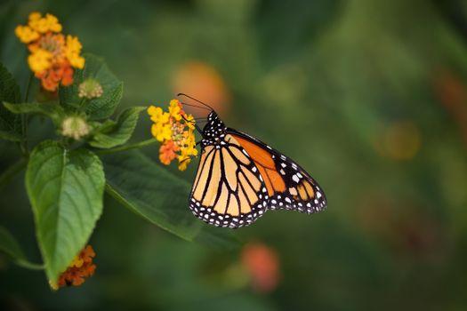 Фото бесплатно животное, монархическая бабочка, насекомые