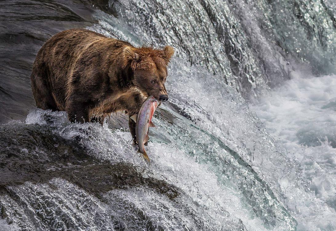 Медведь ловит рыбу · бесплатная заставка