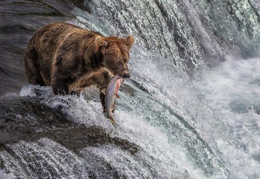 Медведь ловит рыбу · бесплатное фото