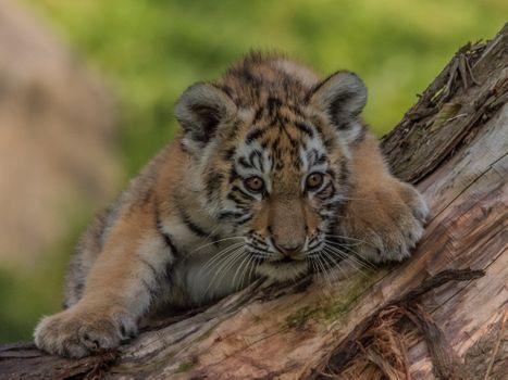Фото бесплатно тигрёнок, котёнок, хищник