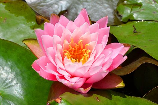 Photo free water beauty, water lily, flowers