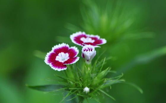 Photo free grass, flora, dianthus