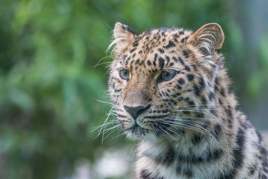 Photo free portrait, beast, leopard
