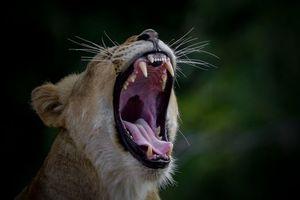 Бесплатные фото львица,животное,хищник,оскал,зев