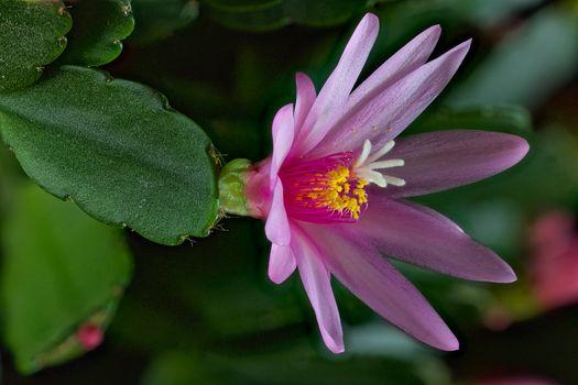 Фото бесплатно Рипсалидопсис, Хатиора, Пасхальный кактус