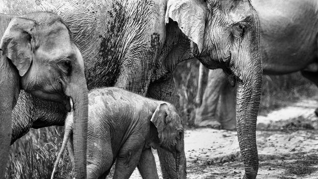 Фото бесплатно слоны, семья, монохромный