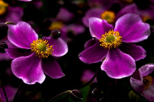 Photo free Japanese Anemones, flowers, flora