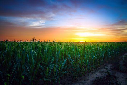 Photo free sunset, field, corn