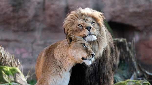 Фото бесплатно лев, объятия, хищники
