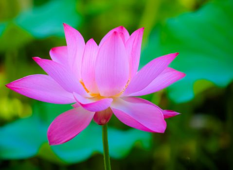 Photo free flowers, beautiful flowers, lotuses