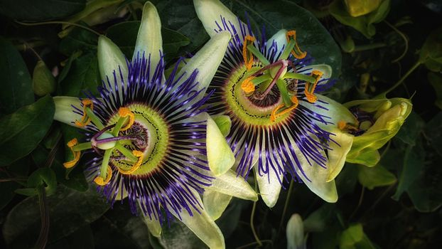 Photo free Passion flowers, flowers, macro