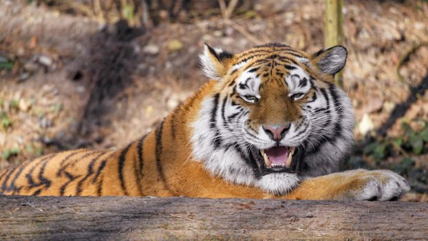 Фото бесплатно тигр, полосы, клыки