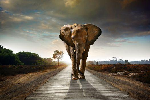 Заставки слон,животное,дорога,закат,уши,хобот,идёт,art
