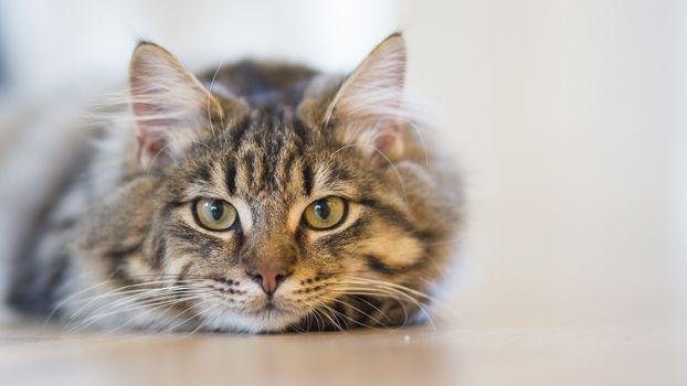 Фото бесплатно кошка, глядя, лежа