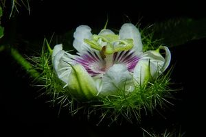 Заставки Пассифлора, флора, макро