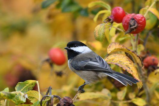 Фото бесплатно синица, птица, ягода