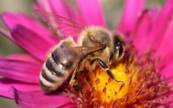 Фото бесплатно растение, опыление, пчела