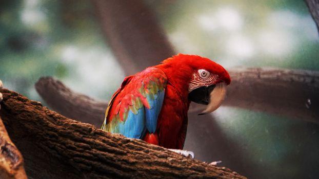Photo free Macaw, red, looks around