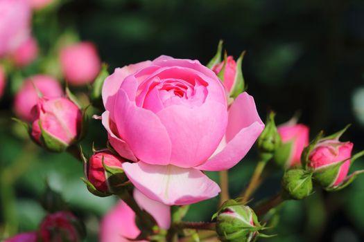 Фото бесплатно розовая роза, лепестки, почки