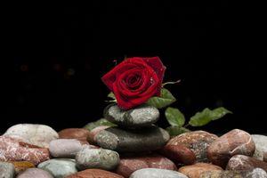 Бесплатные фото роза,камни,цветок,розы,флора,цветочная композиция,чёрный фон