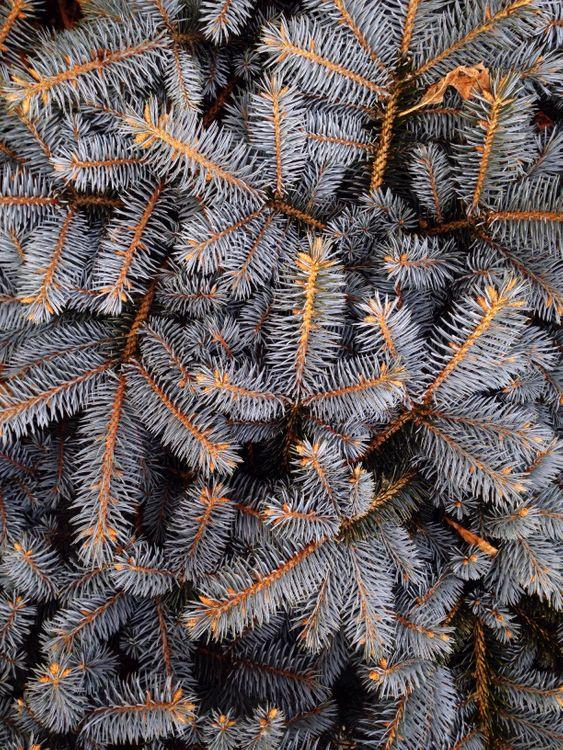 Фото бесплатно ель, шипы, ветвь, белые, spruce, spines, branches, white, природа - скачать на рабочий стол