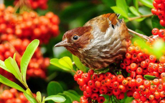 Photo free bird, beak, a rowanberry