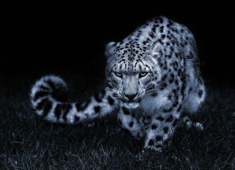 Заставки Леопард, поза, снег