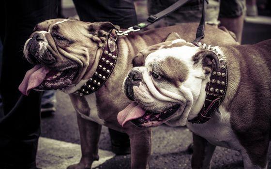 Фото бесплатно бульдоги, язык, собаки