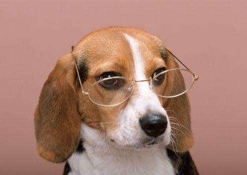 Photo free glasses, dog, nose