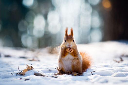 Фото бесплатно белка, снег, очаровательны