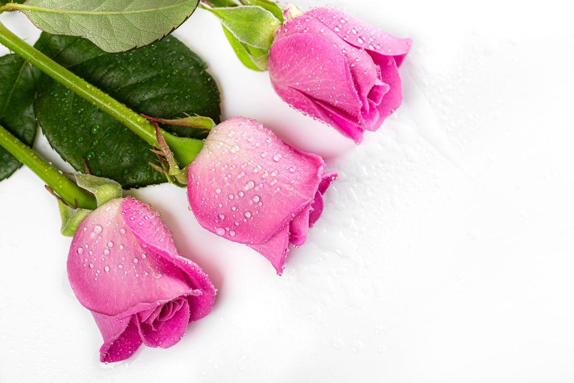 Фото цветок роза розовый цвет - бесплатные картинки на Fonwall