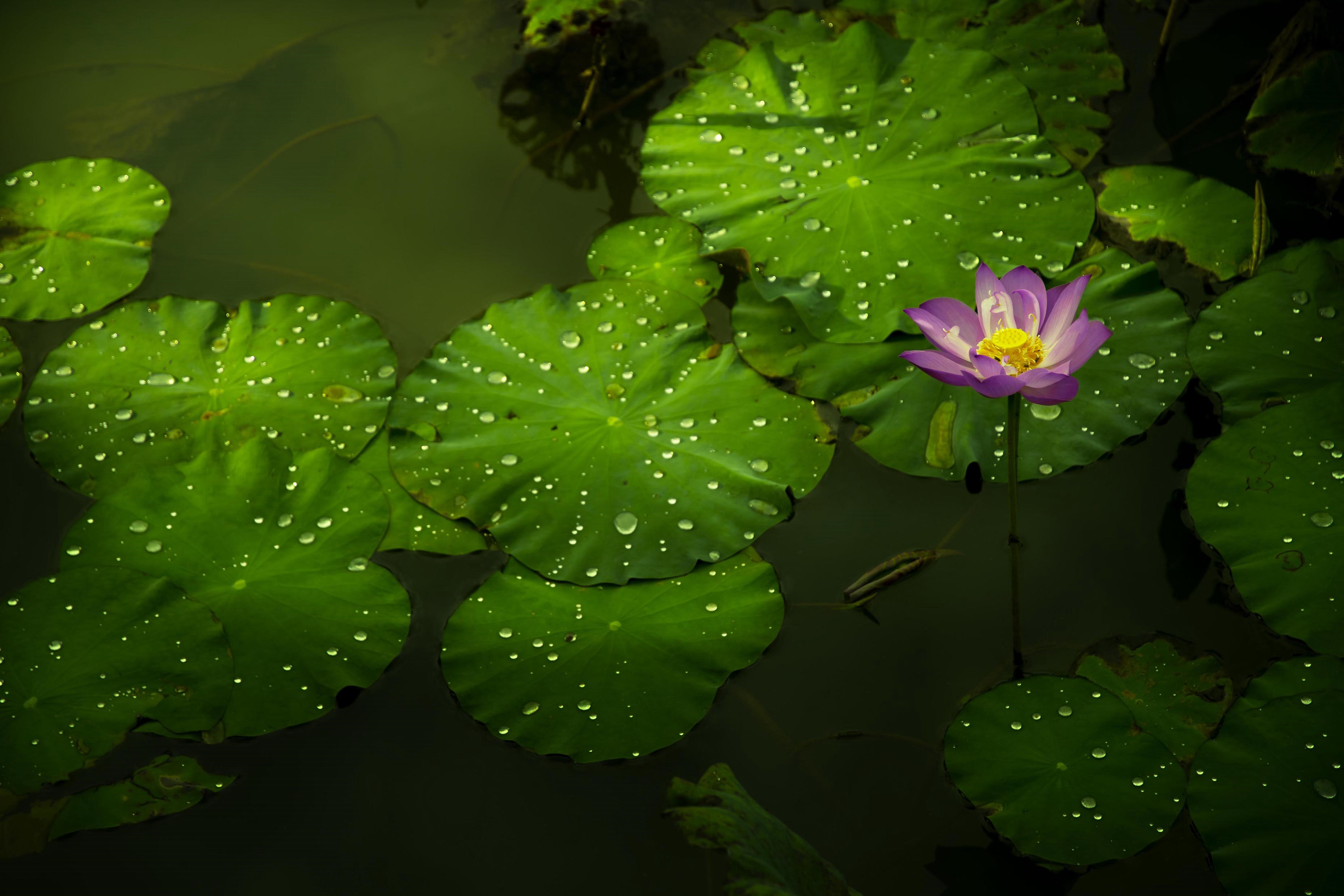 The Lotus Flower And The River Free Screensaver